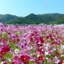 【周辺観光】 馬場のコスモス畑 (車で約8分)