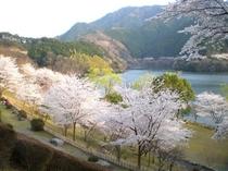 君ヶ野ダムの桜