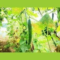 自家栽培のきゅうり