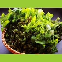 採れたて新鮮な山菜を使っています