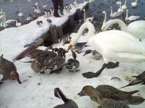 白鳥&カルガモ2