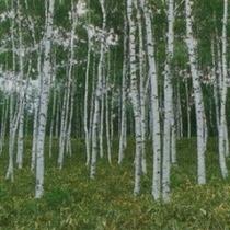 白樺林和洋室(250X250)