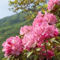 5月は石楠花の季節