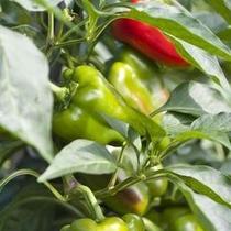 畑で採れた新鮮な野菜は食材はもちろん、お土産として販売してます