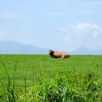 九重には赤牛がいっぱい♪ドライブしながら見ることもできますよ♪
