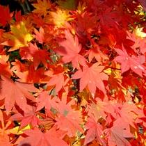 秋は赤や黄色…鮮やかな色がお愉しみいただけます。
