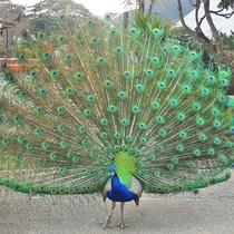 *シャボテン公園の孔雀(当館からお車で5分♪)