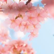 *当館からお車で約37分・早春のお楽しみ河津桜は2月中旬~3月中旬頃まで