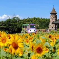 【淡路ファームパークイングランドの丘】ひまわり畑(7月下旬~8月上旬・ホテルからお車で約25分・有料