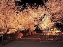 冬桜ライトアップ