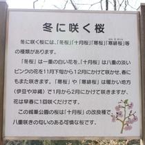 【冬に咲く桜】冬桜のご案内です。城峯公園では桜やつつじ、冬桜など季節の花々をお楽しみいただけます。