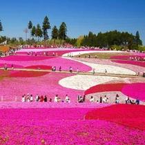 【羊山公園の芝桜】4月中旬から5月上旬にかけて見頃を迎えます。車で50分