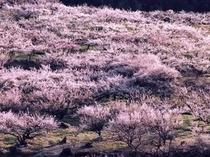 秋間梅林の満開の梅
