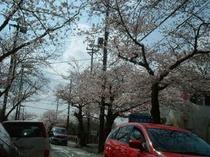 桜並木の桜