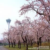 お花見スポット【五稜郭公園】当館より市電で約15分♪