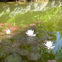 色とりどりの鯉がスイスイ泳ぐ【庭園の池】