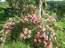 庭に咲いたピンクのバラ