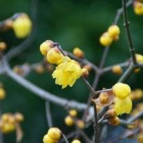 【ぬくもりの「冬」】「宝登山ロウバイ園」約2,500本のロウバイが咲き乱れ、宝登山からの眺望は関東一
