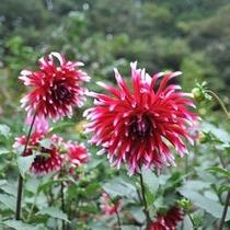 【なごみの「秋」】「両神ダリア園」 約6000平方メートルの敷地に色とりどりのダリアが鑑賞できます!