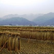 【お米】秩父地元産「絹ひかり」 秋にはこぞって収穫をします。