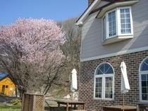 部屋から桜