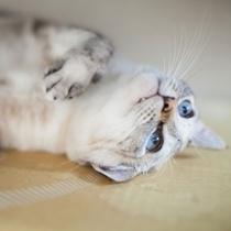 【2階ニャン♪】青い目が美しい、ミルクちゃん