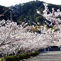 *安房神社の桜
