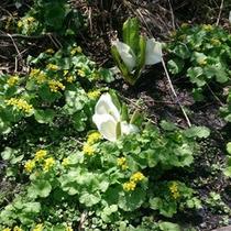 【旭岳の高山植物(春)】雪解けとともにミズバショウがその美しい姿を現します。