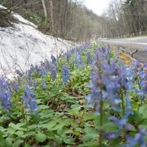【エゾエンゴサク(春)】まだ雪の残る中で咲くエゾエンゴサク。旭岳に来る際、皆様をお迎え致します。