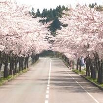 *大畑バイパス桜並木