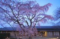宇多野ユースホステルの桜