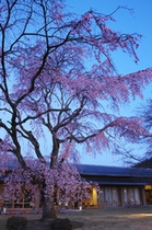 桜の庭-2