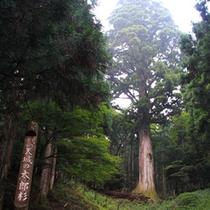 天城の太郎杉