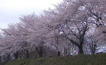 ケヤキの森の桜