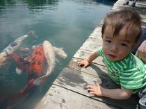 五色沼・ハートの鯉?