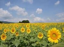 「丹生湖ひまわり畑」※画像提供:富岡市 丹生湖までは当宿からお車で約20分