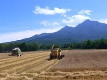 ホテル横の広大な農地での8月のの麦刈り風景
