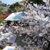足湯からの桜