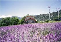 7月の花畑ラベンダー