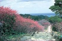 今帰仁城の桜路