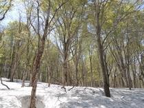 雪解けのぶな林