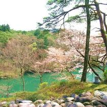 *大瀞の山桜。