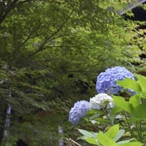 ■四季の花 あじさい
