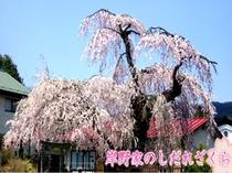 岸野家しだれ桜