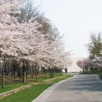 中島公園 桜
