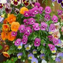 層雲峡花ものがたり