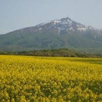 <周辺・景観>鰺ヶ沢の菜のです。背景は岩木山です