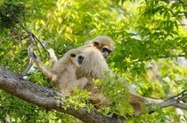 常盤公園 ときわ動物園 シロテナガザル