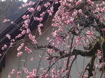 2月中旬しだれ梅の花が咲いて綺麗