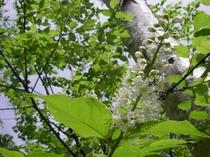 パフィオ庭のウワヅミザクラ